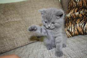 Verkaufen 3BKH's und eine Scotish Fold Kitten
