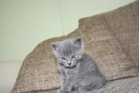 Foto 2 Verkaufen 3BKH's und eine Scotish Fold Kitten