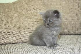 Foto 4 Verkaufen 3BKH's und eine Scotish Fold Kitten