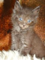 Verkaufen hier wunderschöne Cashmere-Savannah Kitten   aus einer Hobbyzucht.
