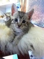 Foto 3 Verkaufen wunderschöne reinrassige Savannah Kitten aus einer Hobbyzucht