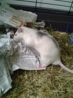 Verschenke ''Rattenböcke''