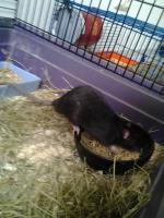 Foto 2 Verschenke ''Rattenböcke''