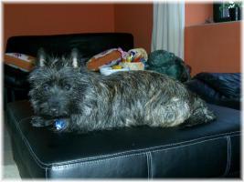 Verschenke schweren Herzens unsere 4 jährige Cairn-Terrier Hündin nur in liebevolle Hände