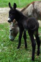 Verschiedene Esel zu Verkaufen