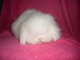 Verschiedene Kaninchen, Zwergwidder, Teddywidder und Rexwidderchen