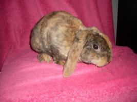 Foto 2 Verschiedene Kaninchen, Zwergwidder, Teddywidder und Rexwidderchen