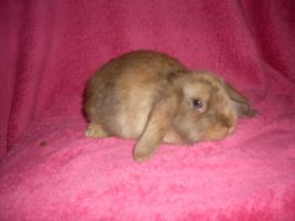 Foto 7 Verschiedene Kaninchen, Zwergwidder, Teddywidder und Rexwidderchen