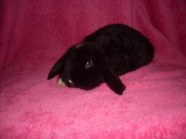 Foto 8 Verschiedene Kaninchen, Zwergwidder, Teddywidder und Rexwidderchen