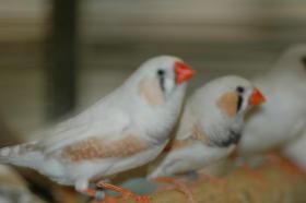 Verschiedene Prachtfinken abzugeben