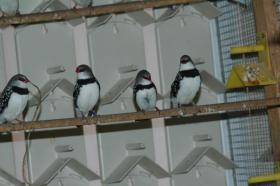 Foto 2 Verschiedene Prachtfinken abzugeben