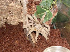 Verschiedene schöne Vogelspinnen ab 2,50€ zu verkaufen