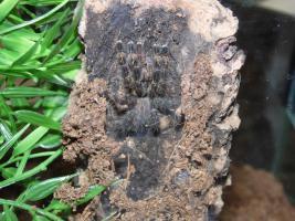 Foto 3 Verschiedene schöne Vogelspinnen ab 2,50€ zu verkaufen