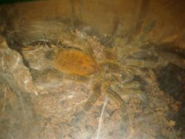 Foto 5 Verschiedene schöne Vogelspinnen ab 2,50€ zu verkaufen