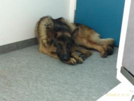 +++++Verschmusster Sch�ferhund+++++