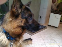 Foto 2 +++++Verschmusster Sch�ferhund+++++