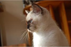 Verschmuste BKH Kitten suchen ein neues Zuhause