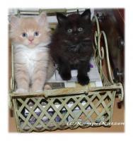 Verschmuste Maine Coon Kitten XXL