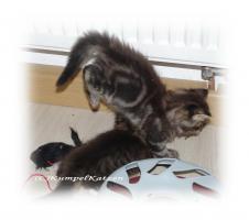 Foto 2 Verschmuste Maine Coon Kitten XXL