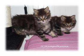 Foto 3 Verschmuste Maine Coon Kitten XXL
