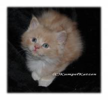 Foto 4 Verschmuste Maine Coon Kitten XXL