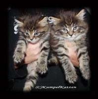 Foto 5 Verschmuste Maine Coon Kitten XXL