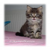 Foto 6 Verschmuste Maine Coon Kitten XXL