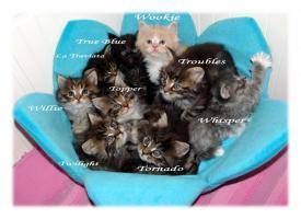 Foto 7 Verschmuste Maine Coon Kitten XXL
