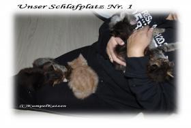 Foto 9 Verschmuste Maine Coon Kitten XXL