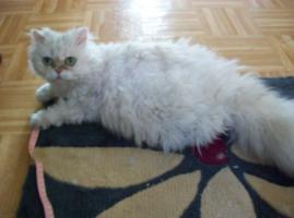 Verschmuste und verspielte Selkirk Rex Katze