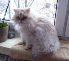 Foto 2 Verschmuste und verspielte Selkirk Rex Katze