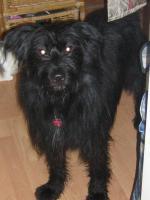 Foto 3 Verschmuster Knuddelb�r und ausgebildeter H�tehund sucht ein liebevolles zu Hause