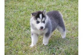 Foto 2 Verspielt Siberian-Husky-Welpen ZVK!!
