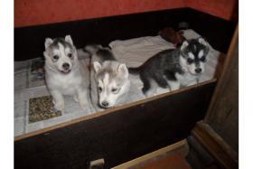 Foto 3 Verspielt Siberian-Husky-Welpen ZVK!!