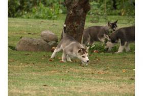 Foto 4 Verspielt Siberian-Husky-Welpen ZVK!!