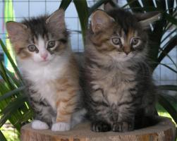 Verspielte und sehr verschmuste Sibirische Katzenkinder