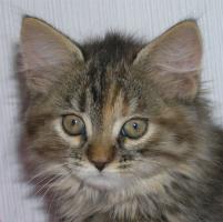 Foto 2 Verspielte und sehr verschmuste Sibirische Katzenkinder