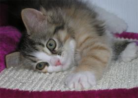 Foto 3 Verspielte und sehr verschmuste Sibirische Katzenkinder