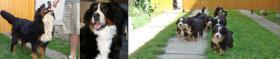 Foto 2 Viel versprechende Berner Sennenhund Welpen!