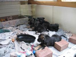 Foto 4 Vier putzmuntere Welpen suchen ein neues Zuhause