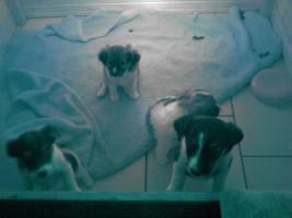 Vier wunderschöne Jack-Russel Terrier Welpen suchen ein Zuhause