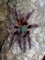 Foto 2 Vogelspinnen aus privater Hobbyzucht
