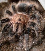 Foto 6 Vogelspinnen aus privater Hobbyzucht