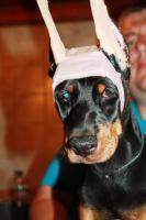 Foto 3 Vollkupierte Dobermannwelpen mit Papiere