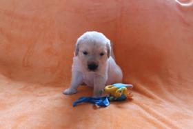 Foto 2 Von Anfang an dabei sein!! Golden Retriever Welpen!!