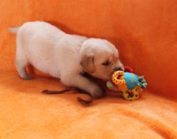 Foto 3 Von Anfang an dabei sein!! Golden Retriever Welpen!!