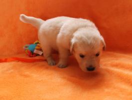 Foto 7 Von Anfang an dabei sein!! Golden Retriever Welpen!!