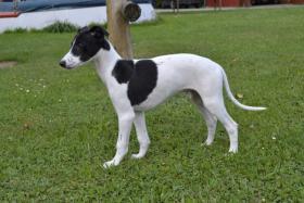 WHIPPET-Kleiner Englischer Windhund
