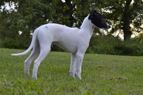 Foto 2 WHIPPET-Kleiner Englischer Windhund