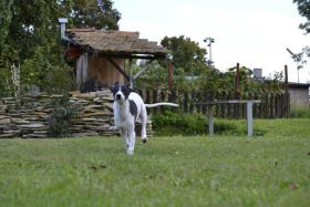 Foto 3 WHIPPET-Kleiner Englischer Windhund
